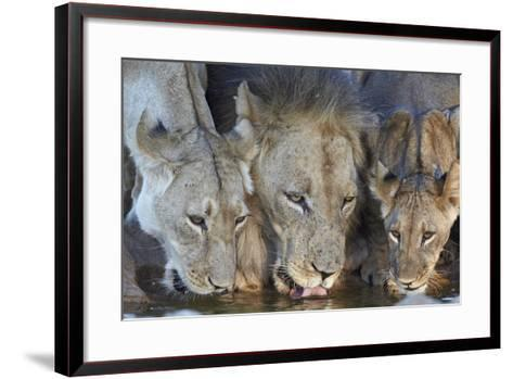 Lion (Panthera Leo) and Two Cubs Drinking-James Hager-Framed Art Print