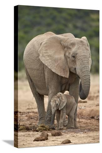 African Elephant (Loxodonta Africana) Mother and Baby-James Hager-Stretched Canvas Print