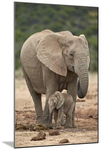 African Elephant (Loxodonta Africana) Mother and Baby-James Hager-Mounted Photographic Print
