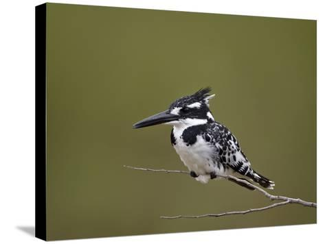 Pied Kingfisher (Ceryle Rudis), Kruger National Park, South Africa, Africa-James Hager-Stretched Canvas Print