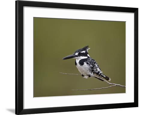 Pied Kingfisher (Ceryle Rudis), Kruger National Park, South Africa, Africa-James Hager-Framed Art Print