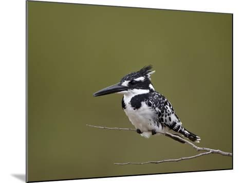 Pied Kingfisher (Ceryle Rudis), Kruger National Park, South Africa, Africa-James Hager-Mounted Photographic Print