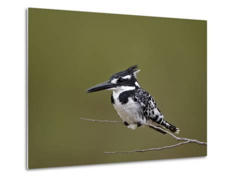 Pied Kingfisher (Ceryle Rudis), Kruger National Park, South Africa, Africa-James Hager-Metal Print