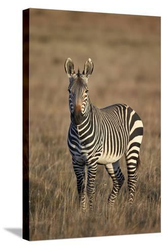 Cape Mountain Zebra (Equus Zebra Zebra) Stallion-James Hager-Stretched Canvas Print