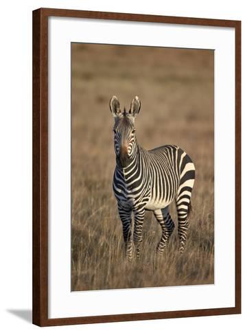 Cape Mountain Zebra (Equus Zebra Zebra) Stallion-James Hager-Framed Art Print