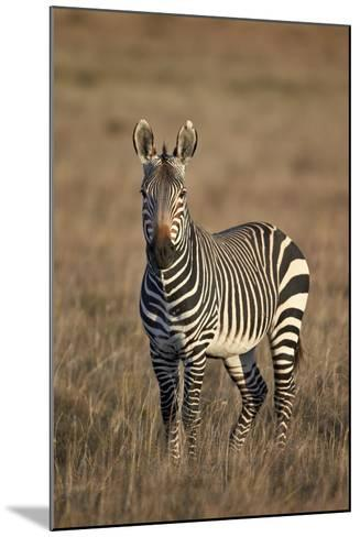 Cape Mountain Zebra (Equus Zebra Zebra) Stallion-James Hager-Mounted Photographic Print