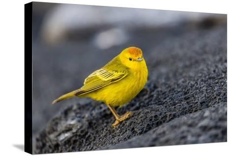 Adult Male Galapagos Yellow Warbler (Setophaga Petechia Aureola) at Puerto Egas-Michael Nolan-Stretched Canvas Print