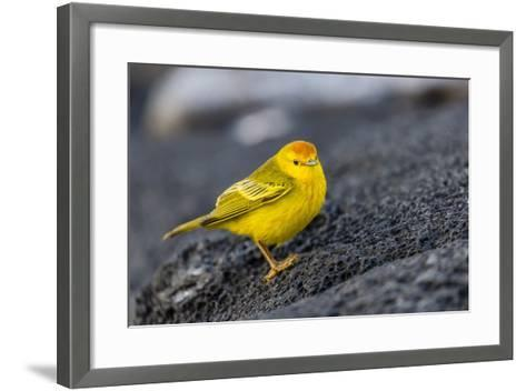 Adult Male Galapagos Yellow Warbler (Setophaga Petechia Aureola) at Puerto Egas-Michael Nolan-Framed Art Print