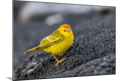 Adult Male Galapagos Yellow Warbler (Setophaga Petechia Aureola) at Puerto Egas-Michael Nolan-Mounted Photographic Print
