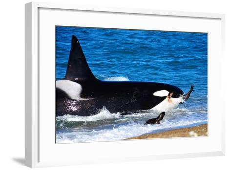 Orca (Orcinus Orca) Adult Male Hunting South American Sea Lion (Otaria Flavescens)-Pablo Cersosimo-Framed Art Print