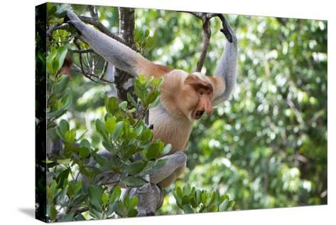 Dominant Male Proboscis Monkey (Nasalis Larvatus)-Louise Murray-Stretched Canvas Print