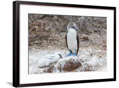Blue-Footed Booby (Sula Nebouxii) Adult-Michael Nolan-Framed Art Print