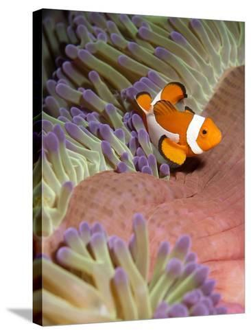 False Clown Anenomefish (Amphiprion Ocellaris) in the Tentacles of its Host Anenome-Louise Murray-Stretched Canvas Print