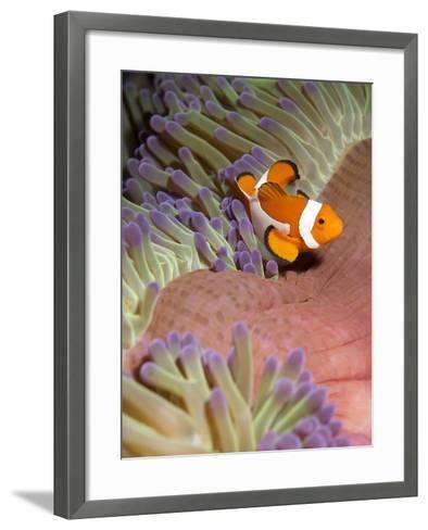 False Clown Anenomefish (Amphiprion Ocellaris) in the Tentacles of its Host Anenome-Louise Murray-Framed Art Print