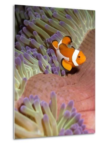 False Clown Anenomefish (Amphiprion Ocellaris) in the Tentacles of its Host Anenome-Louise Murray-Metal Print
