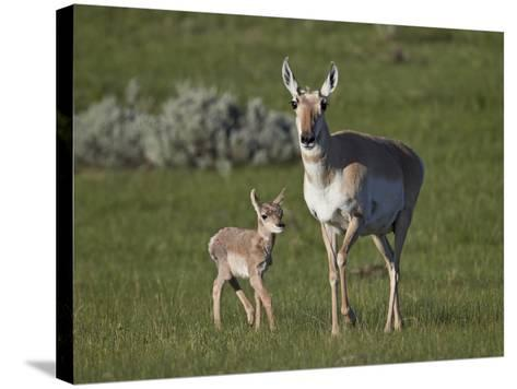 Pronghorn (Antilocapra Americana) Cow and Calf-James Hager-Stretched Canvas Print
