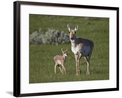 Pronghorn (Antilocapra Americana) Cow and Calf-James Hager-Framed Art Print