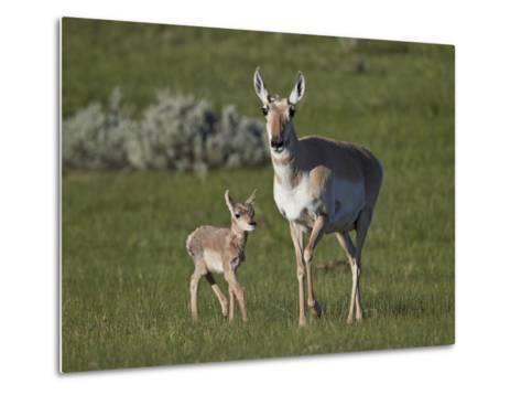 Pronghorn (Antilocapra Americana) Cow and Calf-James Hager-Metal Print