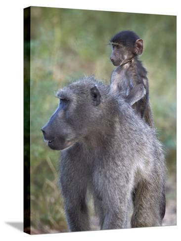 Infant Chacma Baboon (Papio Ursinus) Riding-James Hager-Stretched Canvas Print