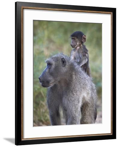 Infant Chacma Baboon (Papio Ursinus) Riding-James Hager-Framed Art Print