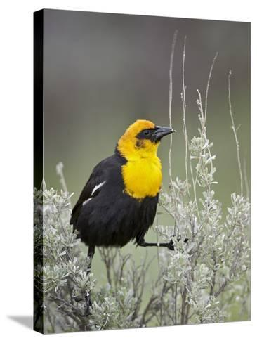 Male Yellow-Headed Blackbird (Xanthocephalus Xanthocephalus)-James Hager-Stretched Canvas Print