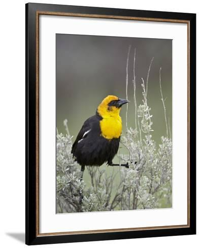 Male Yellow-Headed Blackbird (Xanthocephalus Xanthocephalus)-James Hager-Framed Art Print