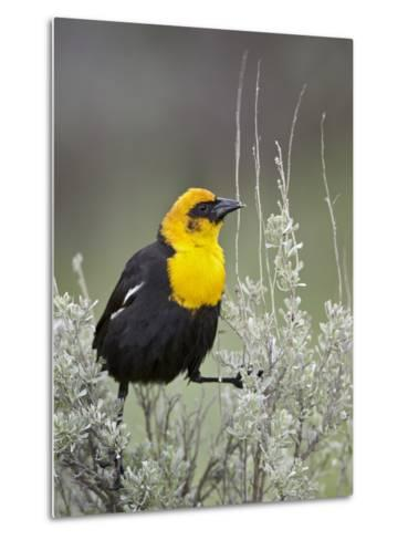 Male Yellow-Headed Blackbird (Xanthocephalus Xanthocephalus)-James Hager-Metal Print