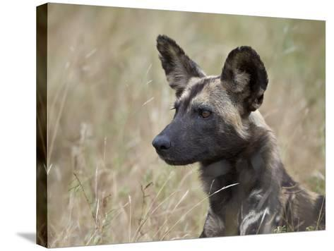 African Wild Dog (African Hunting Dog) (Cape Hunting Dog) (Lycaon Pictus)-James Hager-Stretched Canvas Print