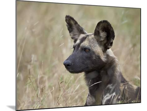 African Wild Dog (African Hunting Dog) (Cape Hunting Dog) (Lycaon Pictus)-James Hager-Mounted Photographic Print