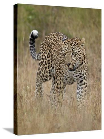 Leopard (Panthera Pardus) Walking Through Dry Grass-James Hager-Stretched Canvas Print