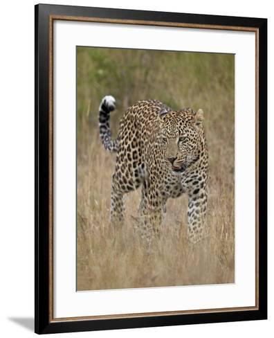 Leopard (Panthera Pardus) Walking Through Dry Grass-James Hager-Framed Art Print