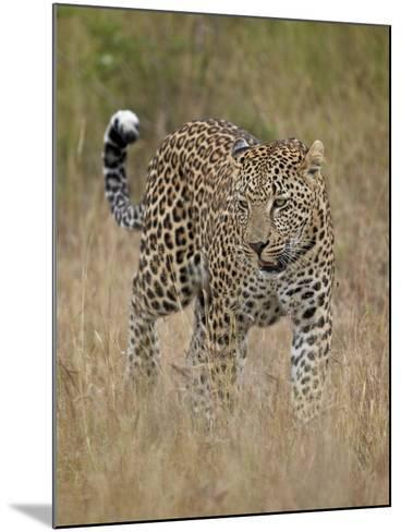 Leopard (Panthera Pardus) Walking Through Dry Grass-James Hager-Mounted Photographic Print