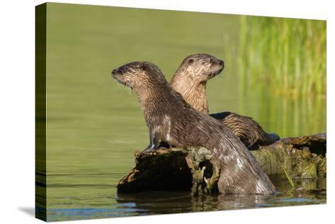 Two Northern River Otters Enjoying a Warm Summer Day-Tom Murphy-Stretched Canvas Print