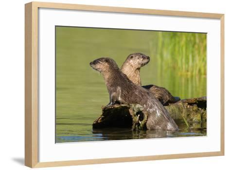 Two Northern River Otters Enjoying a Warm Summer Day-Tom Murphy-Framed Art Print