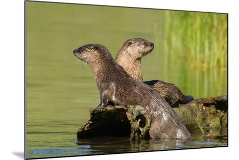 Two Northern River Otters Enjoying a Warm Summer Day-Tom Murphy-Mounted Photographic Print