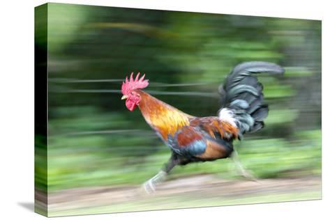 Motion Blur of a Wild Rooster at Hanalei Beach on the Na Pali Coast of Kauai, Hawaii-Rich Reid-Stretched Canvas Print