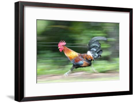 Motion Blur of a Wild Rooster at Hanalei Beach on the Na Pali Coast of Kauai, Hawaii-Rich Reid-Framed Art Print