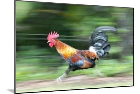 Motion Blur of a Wild Rooster at Hanalei Beach on the Na Pali Coast of Kauai, Hawaii-Rich Reid-Mounted Photographic Print