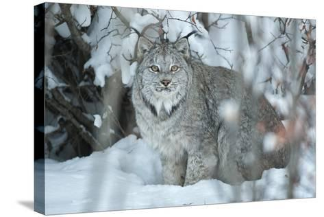 Portrait of a Canadian Lynx, Lynx Canadensis, in a Snowy Forest Setting-Peter Mather-Stretched Canvas Print