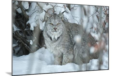 Portrait of a Canadian Lynx, Lynx Canadensis, in a Snowy Forest Setting-Peter Mather-Mounted Photographic Print