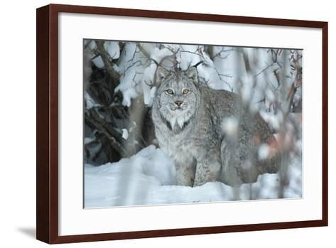 Portrait of a Canadian Lynx, Lynx Canadensis, in a Snowy Forest Setting-Peter Mather-Framed Art Print