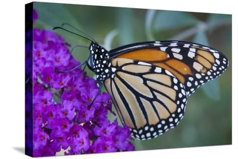 Portrait of a Female Monarch Butterfly, Danaus Plexippus, Sipping Nectar from a Flower-Kent Kobersteen-Stretched Canvas Print