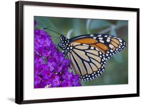 Portrait of a Female Monarch Butterfly, Danaus Plexippus, Sipping Nectar from a Flower-Kent Kobersteen-Framed Art Print