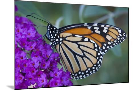 Portrait of a Female Monarch Butterfly, Danaus Plexippus, Sipping Nectar from a Flower-Kent Kobersteen-Mounted Photographic Print
