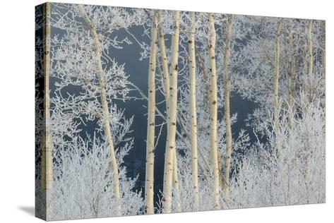 Frost Coated Branches on Aspen Trees-Tom Murphy-Stretched Canvas Print