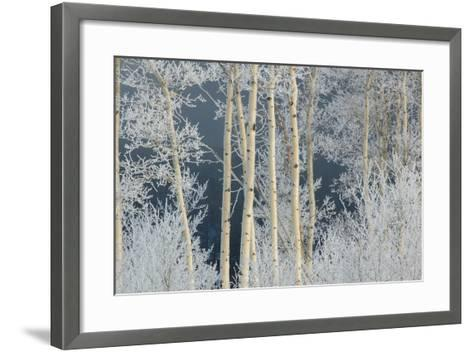 Frost Coated Branches on Aspen Trees-Tom Murphy-Framed Art Print