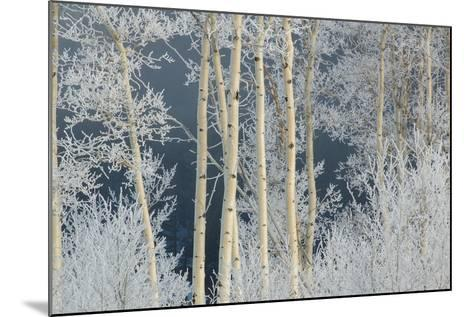 Frost Coated Branches on Aspen Trees-Tom Murphy-Mounted Photographic Print