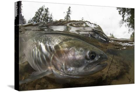 Steelhead Trout, Oncorhynchus Mykiss, in the North Umpqua River-Paul Colangelo-Stretched Canvas Print