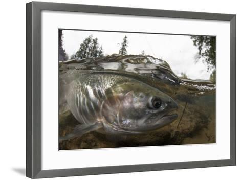 Steelhead Trout, Oncorhynchus Mykiss, in the North Umpqua River-Paul Colangelo-Framed Art Print