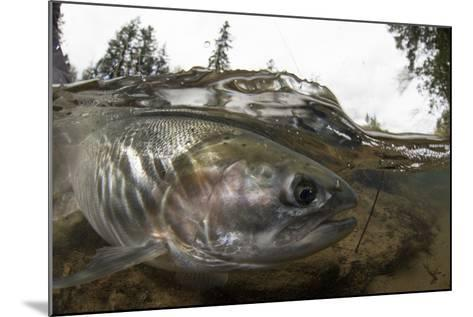 Steelhead Trout, Oncorhynchus Mykiss, in the North Umpqua River-Paul Colangelo-Mounted Photographic Print